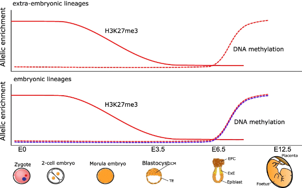 Endogenous retroviral insertions drive non-canonical imprinting in extra-embryonic tissues