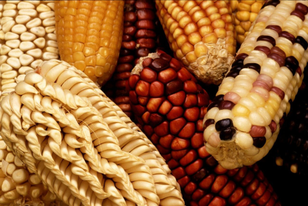 Gapless assembly of maize chromosomes