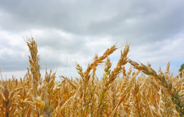 The oat genome