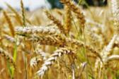 International Wheat Genome Sequencing